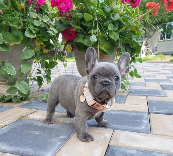 Bulldogs for sale Vermont Buy french bulldog French bulldog puppies for adoption Bulldog puppies for sale Frenchie puppies Blue french bulldog rescue