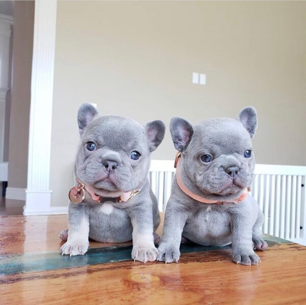 Frenchie puppies Vermont Blue french bulldog puppies for sale French bulldog puppies near me French bulldogs for sale near me frenchie puppies for sale