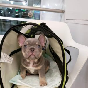 Teacup french bulldog puppies for sale Vermont bulldog puppies for sale near me french bulldog puppies cheap french bulldogs for sale