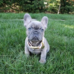 Frenchies for sale online Vermont French bulldogs for sale near me French bulldog puppies for sale near me bulldog rescue Teacup french bulldog puppies