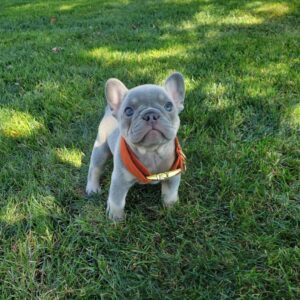 Buy French bulldog rescue Vermont French bulldog puppies for sale French bulldog breeders online French bulldog adoption online Frenchies for sale