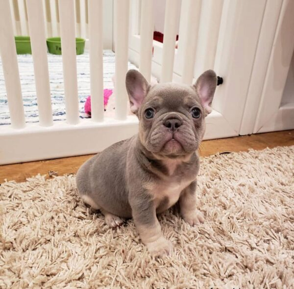 French bulldog rescue Vermont french bulldog breeders french bulldog adoption frenchies for sale cheap french bulldog puppies for sale bulldogs for sale