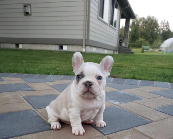 Bulldog puppies for sale online vermont French bulldog puppies for sale near me Frenchie puppies French bulldog puppies online Buy french bulldog online